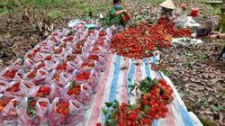 1.385 tấn chôm chôm chín đỏ đầy vườn, la liệt tôm càng xanh nằm ao, nông dân Bến Tre mong ngóng được tiêu thụ