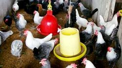 Gà HA1 đẻ 230 quả trứng/năm