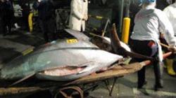 Một con cá ngừ giá 700.000 USD
