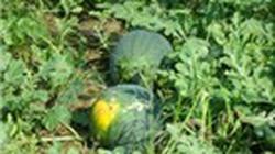Chuẩn bị thu hoạch dưa hấu đón Tết