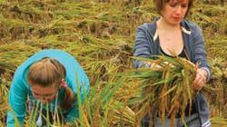 Những người Nga gặt lúa ở Mai Châu