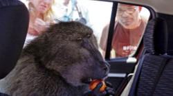 Kinh hãi khỉ đầu chó... cướp bóc, tát khách du lịch