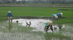 Phú Yên: Khổ vì ruộng ngập úng