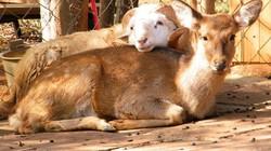 Cặp đôi cừu-hươu và những khoảnh khắc không thể tình tứ hơn