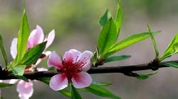 Đào rừng nở muộn phủ sắc hồng đường lên Tây Bắc