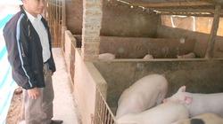 Học nuôi lợn bài bản