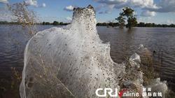 Hình ảnh hiếm thấy: Hàng ngàn con nhện hối hả chạy lụt