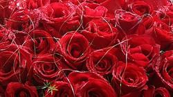 Làm lành với vợ bằng 1 triệu bông hồng đỏ đúng ngày 8.3