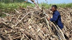 Khánh Hòa: Mía hết đường vào nhà máy