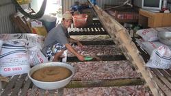 ĐBSCL: Thận trọng thả nuôi cá điêu hồng vụ mới