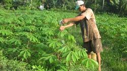 Bộ NNPTNT khuyến cáo về việc trống sắn bán lá
