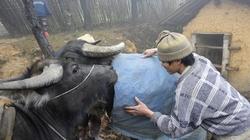 Rét đậm, rét hại tại miền Bắc: Đàn trâu bò vẫn an toàn