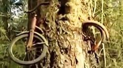 """Phát hiện xe đạp bị cây """"nuốt"""" sau 50 năm mất tích"""