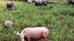 Trồng cỏ VA06, tha hồ nuôi trâu, bò, ngựa, dê...