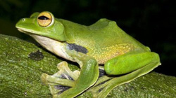 Phát hiện loài ếch bay mới ở TP.HCM