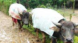 Trâu bò chết rét, chủ được hỗ trợ thế nào?