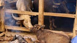 Hà Giang: Ít nhất 70 con trâu, bò chết rét