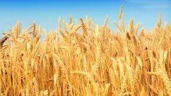 Người Mỹ có xu hướng chuyển nghề làm nông dân