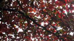 Thị xã Sơn Tây rực đỏ trong mùa bàng trút lá