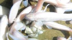 Phú Yên: Cá chình trắng xuất hiện nhiều