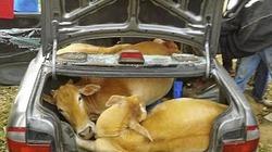 Gặp hạn vì nhốt 4 con bò ăn cắp trên... chiếc xe hơi