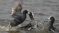 """Sâm cầm và lệ """"chim trình diện"""" ở hồ Tây"""