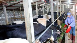 Hà Nội: Đẩy mạnh quy mô đàn bò sữa Ba Vì