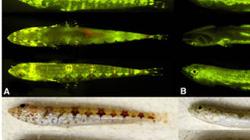 Kỳ lạ 180 loài cá biết phát sáng để hút bạn tình