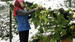 Mỗi hécta susu thiệt hại do mưa tuyết được hỗ trợ 20 triệu đồng