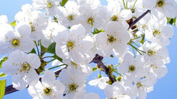 Ngẫm từ bông mai trắng