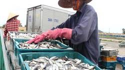 Ngư dân Hà Tĩnh được mùa tép biển
