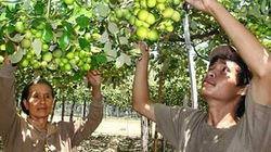 1.001 cách làm ăn: Bí quyết trồng đại táo
