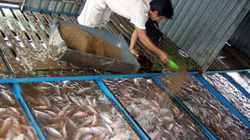 Nuôi cá bè ở Tiền Giang có nguy cơ thua lỗ