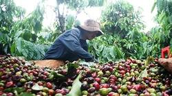 Người trồng cà phê găm hàng chờ giá cao