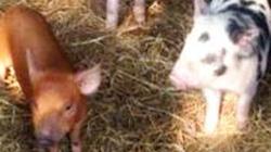 Đàn lợn con ở Thanh Hóa có lông vàng như bê con và lốm đốm như lông báo