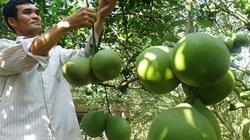 Vườn bưởi tiền tỷ ở xã cù lao Bạch Đằng