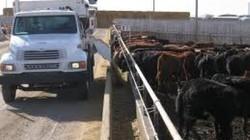 Nhập 68.000 gia súc của Australia