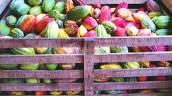 Người trồng ca cao được mùa, trúng giá