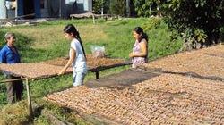Độc đáo nghề  làm khô nhái