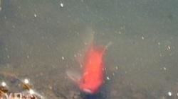 Cá chép tiễn ông Táo ngắc ngoải vùng vẫy trong... nước mặn