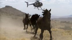 Những pha săn ngựa hoang ngoạn mục bằng... trực thăng