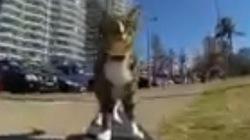 """Chú mèo gây sốt với màn đi ván trượt """"cực đỉnh"""""""