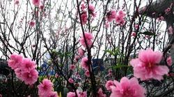 Rộn ràng sắc hoa xuân Hà Nội