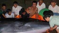Quảng Ninh: Cả trăm người rẽ nước đưa cá voi nặng 2 tấn về với biển