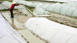 Nông dân cần ngừng cấy, gieo hạt và tập trung chống rét cho mạ