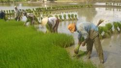 Hà Nội: 34 vùng sản xuất lúa chất lượng cao