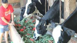 """Sau Tết, nông dân """"đổ tháo"""" hoa lay ơn cho bò ăn"""
