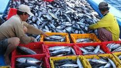 Cà Mau: Các tàu cá xa bờ trúng đậm chuyến đầu năm