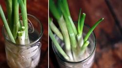 Độc chiêu trồng rau tái sinh, ăn hết lại có