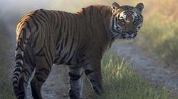Sốc: Hổ ăn thịt 10 người sau khi thoát khỏi vườn thú